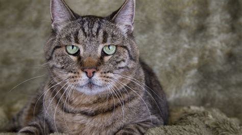 Risks associated with Radioiodine Therapy for Feline