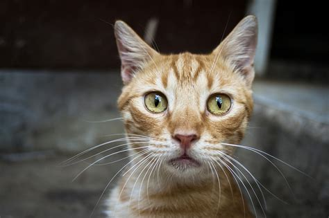 How to safely treat tapeworms in your cat - PetMeds® Pet